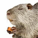 Coypu or Nutria in front of a white background Stock Photo - Royalty-Free, Artist: isselee, Code: 400-03954388