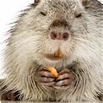 Coypu or Nutria in front of a white background Stock Photo - Royalty-Free, Artist: isselee, Code: 400-03954390