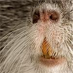 Coypu or Nutria in front of a white background Stock Photo - Royalty-Free, Artist: isselee, Code: 400-03954391