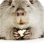 Coypu or Nutria in front of a white background Stock Photo - Royalty-Free, Artist: isselee, Code: 400-03954394