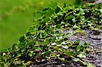 A green rambling ivy climbs up the stone bench. The nature demonstrates its strength and the exquisite treasure of its details Stock Photo - Royalty-Free, Artist: myper, Code: 400-03972578