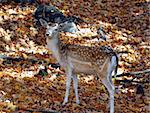 Picture of a beautiful Fallow Deer (Dama dama) in a colorful forest Stock Photo - Royalty-Free, Artist: nialat, Code: 400-03974493
