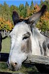 Close-up picture of a donkey with a fall background Stock Photo - Royalty-Free, Artist: nialat, Code: 400-03974494