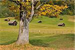 Maple Tree and Countryside in Autumn, Gerold, Werdenfelser Land, Upper Bavaria, Bavaria, Germany Stock Photo - Premium Rights-Managed, Artist: Raimund Linke, Code: 700-03979827