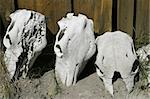 Three cow skulls lying next to an old shed on an Oregon ranch. These old bones have been bleached white by the sun. Stock Photo - Royalty-Free, Artist: searagen, Code: 400-03984561