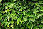Abstract background of lush green ivy leaves Stock Photo - Royalty-Free, Artist: Elenathewise, Code: 400-03985267