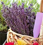 Bunches of fresh lavender in a basket for sale at a farmer's market in summer Stock Photo - Royalty-Free, Artist: karimala, Code: 400-03992622