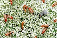 people mating - A lot of common red soldier beetles and one female flesh-fly Stock Photo - Royalty-Freenull, Code: 400-03994758