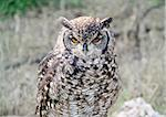 A beautiful eurasian eagle-owl (Bubo Bubo) Stock Photo - Royalty-Free, Artist: alexandr6868, Code: 400-03995368