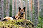 Germany Sheep-dog laying on the stone Stock Photo - Royalty-Free, Artist: Koljambus, Code: 400-04000062