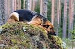 Germany Sheep-dog laying on the stone Stock Photo - Royalty-Free, Artist: Koljambus, Code: 400-04000074