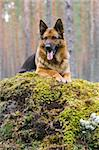 Germany Sheep-dog laying on the stone Stock Photo - Royalty-Free, Artist: Koljambus, Code: 400-04000076