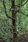 Tree with many low branches in Daintree Rainforest, Australia. Stock Photo - Royalty-Free, Artist: iofoto, Code: 400-04006384