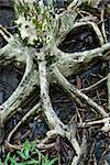 Roots of tree spreading out in wet ground iin Daintree Rainforest, Australia. Stock Photo - Royalty-Free, Artist: iofoto, Code: 400-04006385