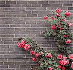 Climbing red roses on a brick wall of a house Stock Photo - Royalty-Free, Artist: Elenathewise, Code: 400-04007241