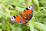 European peacock caterpillar (Inachis io) at the green meadow Stock Photo - Royalty-Free, Artist: sahua, Code: 400-04008203