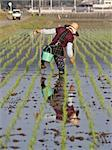 An old woman walking in a wet Japanese rice field as she plants rice. Stock Photo - Royalty-Free, Artist: wdeon, Code: 400-04018101