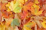 Autumn leaves Stock Photo - Royalty-Free, Artist: phodopus, Code: 400-04022714
