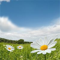 flores - Camomile flowers on a lovely summers day. Stock Photo - Royalty-Freenull, Code: 400-04024403