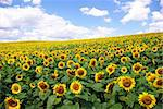 sunflower field over cloudy blue sky Stock Photo - Royalty-Free, Artist: Pakhnyushchyy, Code: 400-04030815
