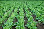 green background  of tobacco plantation. agriculture plant Stock Photo - Royalty-Free, Artist: casaalmare, Code: 400-04031910