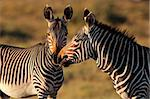Endangered Cape Mountain Zebras (Equus zebra), Mountain Zebra National Park, South Africa  Stock Photo - Royalty-Free, Artist: EcoShow, Code: 400-04041052