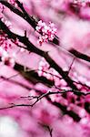 vivid photo of redbud blossoms in spring time. Stock Photo - Royalty-Free, Artist: hojo, Code: 400-04042439