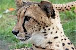 Close-up image of Cheetah (Acinonyx Jubatus)