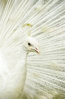 people mating - closeup on a nice white peacock Stock Photo - Royalty-Freenull, Code: 400-04049384