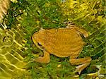 Big brown frog swimming in wild nature water