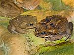 Two big brown frogs in the wild nature