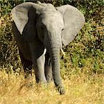 Elephant Stock Photo - Royalty-Free, Artist: isselee, Code: 400-04057799