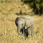 Elephant Stock Photo - Royalty-Free, Artist: isselee, Code: 400-04057800