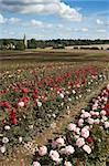 A feild of roses on a rose nursery,with a church in the background Stock Photo - Royalty-Free, Artist: markabond, Code: 400-04059317