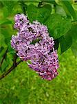Blossoming branch of  lilac in  garden on  background of  green grass Stock Photo - Royalty-Free, Artist: Andriy_Solovyov, Code: 400-04064628