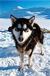A sled dog in snow with moutain in background Stock Photo - Royalty-Free, Artist: Nouk, Code: 400-04065552