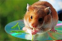A hamster is a darling by children young wild of animal. Stock Photo - Royalty-Freenull, Code: 400-04066681