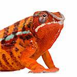 Chameleon Furcifer Pardalis - Sambava (2 years) in front of a white background Stock Photo - Royalty-Free, Artist: isselee, Code: 400-04070146