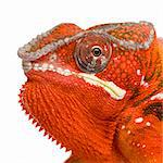 Chameleon Furcifer Pardalis - Sambava 2 years in front of a white background Stock Photo - Royalty-Free, Artist: isselee, Code: 400-04070148