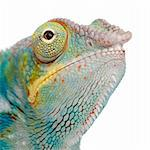 Young Chameleon Furcifer Pardalis - Ankify (8 months) in front of a white background Stock Photo - Royalty-Free, Artist: isselee, Code: 400-04070153