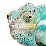 Young Chameleon Furcifer Pardalis - Nosy Be (7 months) in front of a white background Stock Photo - Royalty-Free, Artist: isselee, Code: 400-04070174