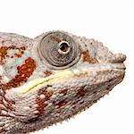 Chameleon Furcifer Pardalis - Masoala (4 years) in front of a white background Stock Photo - Royalty-Free, Artist: isselee, Code: 400-04070191