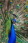 Peacock  peafowl with his tail feathers . close-up Stock Photo - Royalty-Free, Artist: olenka, Code: 400-04072357