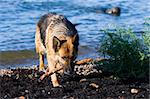 The wet sheep-dog with a stick in a mouth Stock Photo - Royalty-Free, Artist: Koljambus, Code: 400-04073306