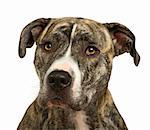 American Staffordshire terrier (18 months) in front of a white background Stock Photo - Royalty-Free, Artist: isselee, Code: 400-04073959