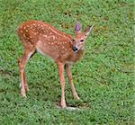 whitetail fawn still in spots in a grassy field Stock Photo - Royalty-Free, Artist: gsagi, Code: 400-04081995
