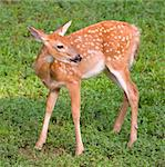 whitetail fawn in a summertime green field Stock Photo - Royalty-Free, Artist: gsagi, Code: 400-04081996