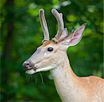 whitetail buck in a forest with open mouth Stock Photo - Royalty-Free, Artist: gsagi, Code: 400-04081999