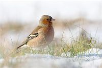 fringilla - Chaffinch in the snow in a cold winter. You can see every detail of the head. Stock Photo - Royalty-Freenull, Code: 400-04092165