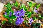 Closeup of wild purple violet flowers and leaves Stock Photo - Royalty-Free, Artist: Elenathewise, Code: 400-04093807